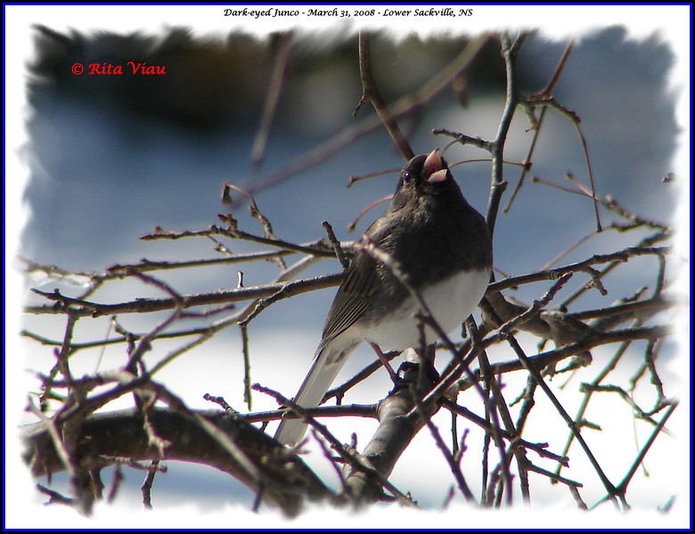 Dark-eyed Junco - March 31, 2008 - Lower Sackville, NS