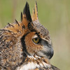 great horned owl,  Leslie St Spit