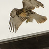 Hawks in Compton Heights-2263