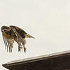 Hawks in Compton Heights-2266
