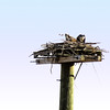 Osprey on Nest at Occoquan Bay NWR