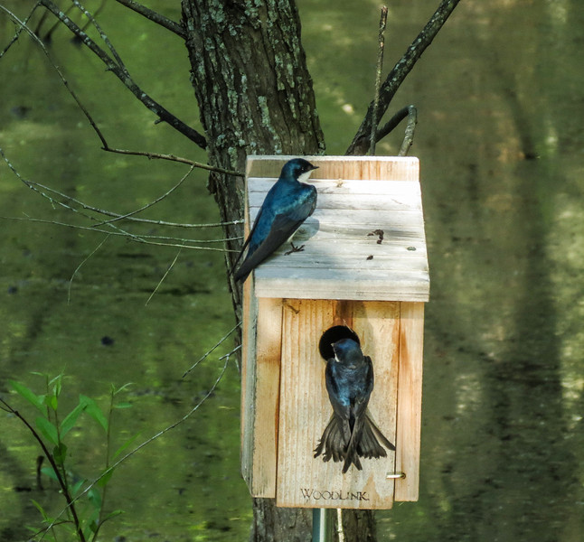 Tree Swallow Trying to Take Over Prothonotary Nest