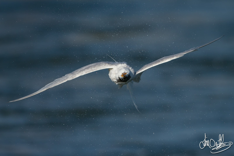 Elegant Tern shaking after a dive