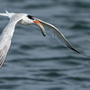 Elegant Tern with a Fish
