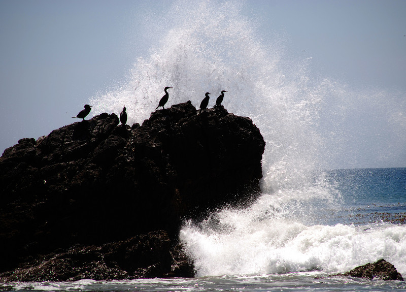 Cormorants on the California Coast