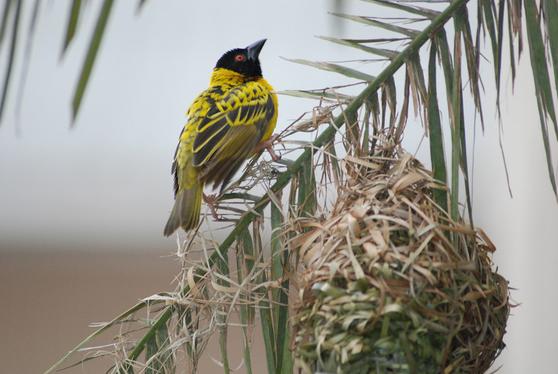 Southern Masked Weaver in Lusaka, Zambia (2): This male weaver perches on the palm branch that is both the anchor and material for his woven nest.