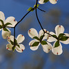 Dogwood Blossoms at Old Davidson State Park near Pocahontas, Arkansas.