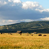 Bison grazing in golden meadow