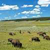 Buffalo roam, Yellowstone National Park