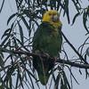 Yellow-headed Parrot - Oliveira Park, Brownsville, Tx