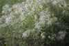 Old Man's Beard (Clematis drummondii) 2