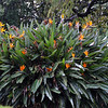 Bird of Paradise bush (Strelitzia) in the Royal Botanical Gardens in Sydney.