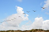 57. Brown Pelicans in flying formation over Mustang Island dunes