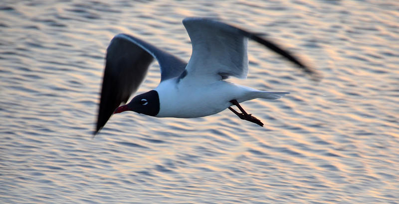 27. Laughing Gull (or possibly Franklin's Gull) in flight