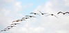 56. Brown Pelicans in flying formation