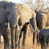 Adult elephants herd two calves that seem to be twins