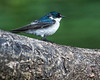 The mangrove swallows are quite pretty if the sit still for a moment.