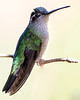 This is a female magnificent hummingbird.
