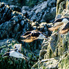 Common Murres Take Flight