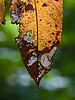 Insect depredation and tissue loss, together with seasonal color changes turned this wild cherry leaf into a work of art to my eye.<br /> <br /> Hidden Lake Gardens,<br /> Tipton, Michigan<br /> September 21, 2011