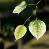 Silver Cloud:  a variegated redbud tree<br /> <br /> DSC9574