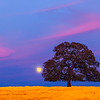 A full moon rises behind a stately oak tree on the Millville Plains, Millville, CA