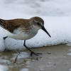 Day 2 Western Sandpiper Mission Beach