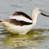 Day 4 American Avocet, Salton Sea