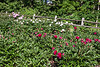 D153-2013 Garden view . Peony Garden at Nichols Arboretum Ann Arbor, Michigan June 2, 2013 (Sunday of the weekend Peony Festival)