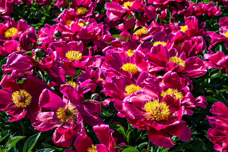 D153-2013  Peony profusion . Peony Garden at Nichols Arboretum Ann Arbor, Michigan June 2, 2013 (Sunday of the weekend Peony Festival)