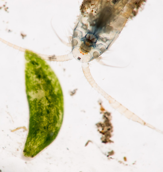 Flatworm and copepod (Cyclops sp.?)