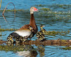 Black-bellied Whistling Duck with young