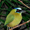 Blue Crowned Motmot