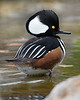 This photograph of a male Hooded Merganser was captured in Albuquerque, New Mexico (12/12).  This photograph is protected by the U.S. Copyright Laws and shall not to be downloaded or reproduced by any means without the formal written permission of Ken Conger Photography.