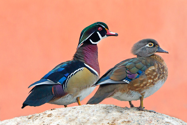 This photograph of a pair of Wood Ducks was captured in Albuquerque, New Mexico (12/12).  This photograph is protected by the U.S. Copyright Laws and shall not to be downloaded or reproduced by any means without the formal written permission of Ken Conger Photography.