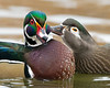 This photograph of a female grooming a male Wood Duck was captured in Albuquerque, New Mexico (12/12).  This photograph is protected by the U.S. Copyright Laws and shall not to be downloaded or reproduced by any means without the formal written permission of Ken Conger Photography.