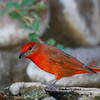 Male Hepatic Tanager,  Davis Mtns SP,  05/05/2015. Second year in a row for this beautiful bird.