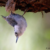 Whie-breasted Nuthatch,  Davis Mtns SP,  05/05/2015. How cute.