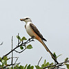 Near Balmorhea - Scissor-tailed Flycatcher, 05/24/2004.