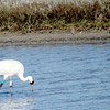 This female whooping crane has a GPS device on her right leg.
