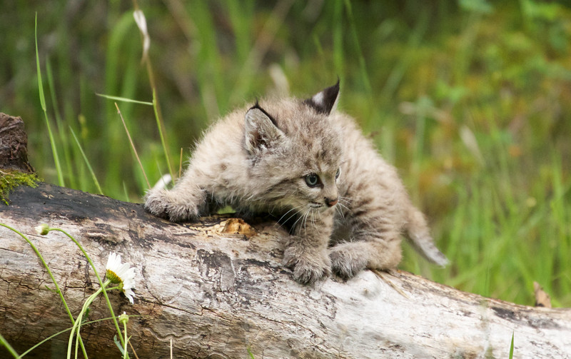 Bobcat kitten (or bobkitten?)