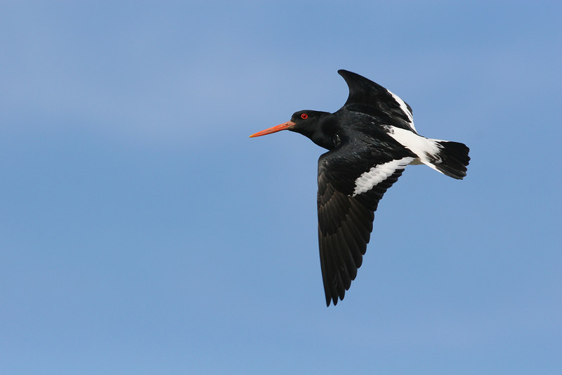 Oyster Catcher. North Canterbury, New Zealand.