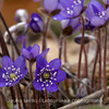 Sinivuokko (Hepatica nobilis) - Common hepatica