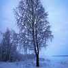 Rantakoivu - The Birch on the shore