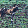 African Painted Dogs intent on finding prey. South Africa