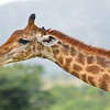 Giraffe--up close and personal in South Africa.