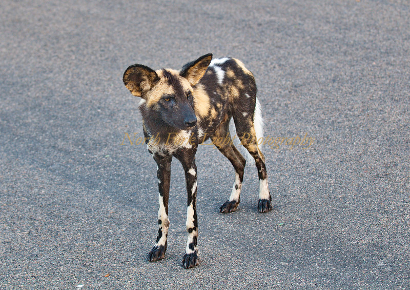 African Painted Dog in South Africa