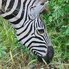 Zebra close up, South Africa