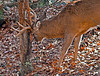 Whitetail buck rubbing tree