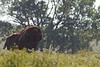 Bison bull<br /> Maxwell State Wildlife Area, Kansas